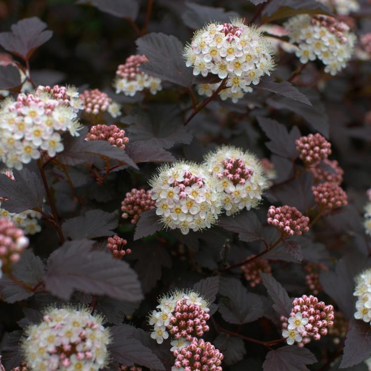 "Rödbladig smällspirea (Physocarpus Opulifolius ""Diabolo"")"
