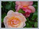 Aprikola - Summer Beauty