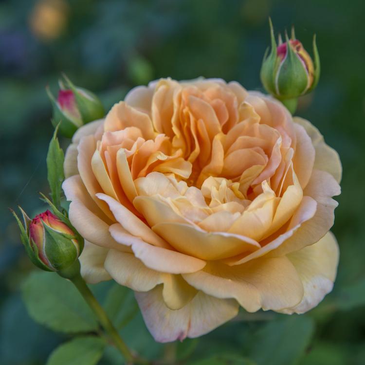 Crown Princess Margareta® - AUSwinter