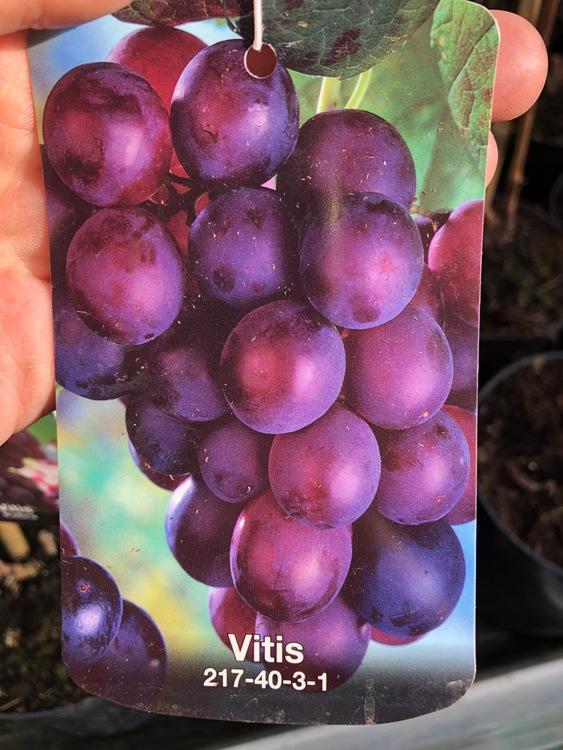 "Vitis ""217-40-3-1"""