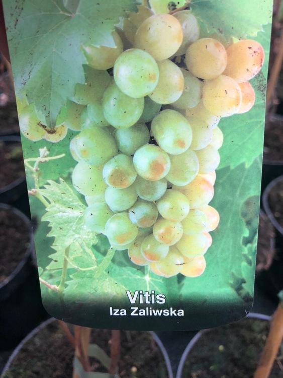 """Vitis """"Iza Zaliwska"""""""