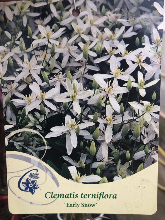 "Klematis Terniflora ""Early Snow"""