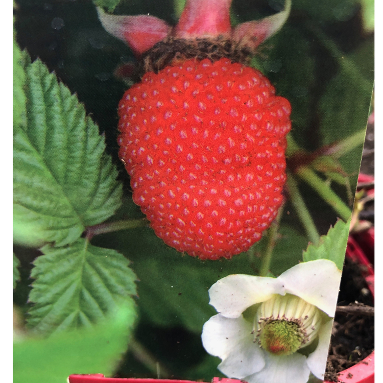 Jordgubbshallon - Rubus illecebrosus