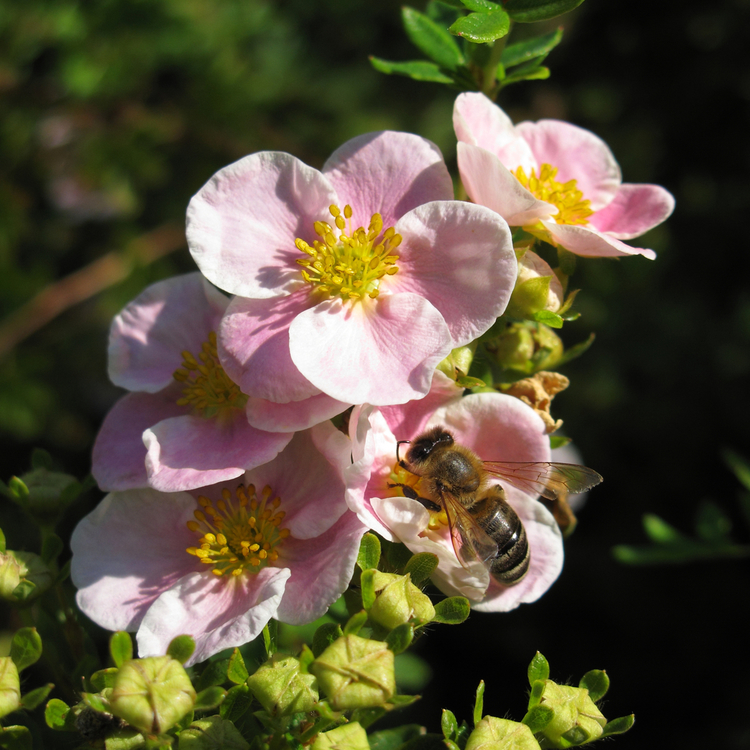 "10- Pack Ölandstok - Potentilla ""Lovely Pink"""