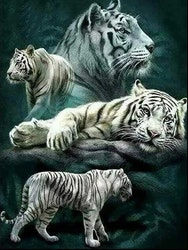 Diamanttavla (R) White Tigers 50x70