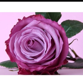 Diamanttavla Pretty Purple Rose 30x40