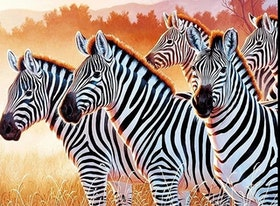 Diamanttavla Zebras 40x50