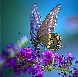 SNART I BUTIK  - Diamanttavla Butterfly Purple Flower 40x40