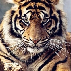 Diamanttavla Tiger Look 40x50