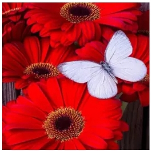 Diamanttavla (R) Butterfly On Red Flowers 30x40