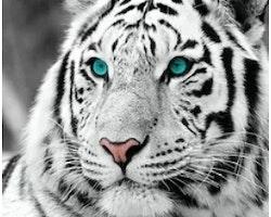 SNART I BUTIK - Diamanttavla Blue Eye White Tiger 50x50