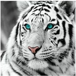 Diamanttavla Blue Eye White Tiger 50x50