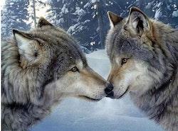 Diamanttavla Wolfcouple 40x50