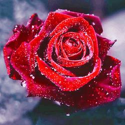 Diamanttavla Red Rose 30x30