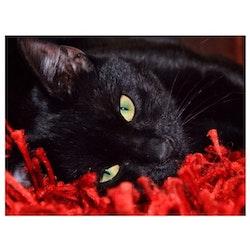 Diamanttavla (R) Black Cat 50x70