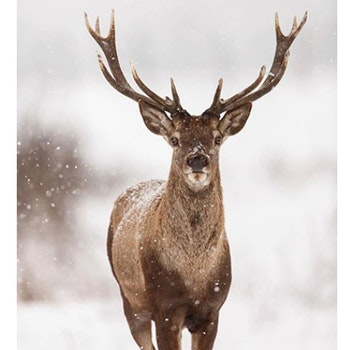 Diamanttavla (R) Deer In Snow 50x70 - Leveranstid 1-3 Dagar