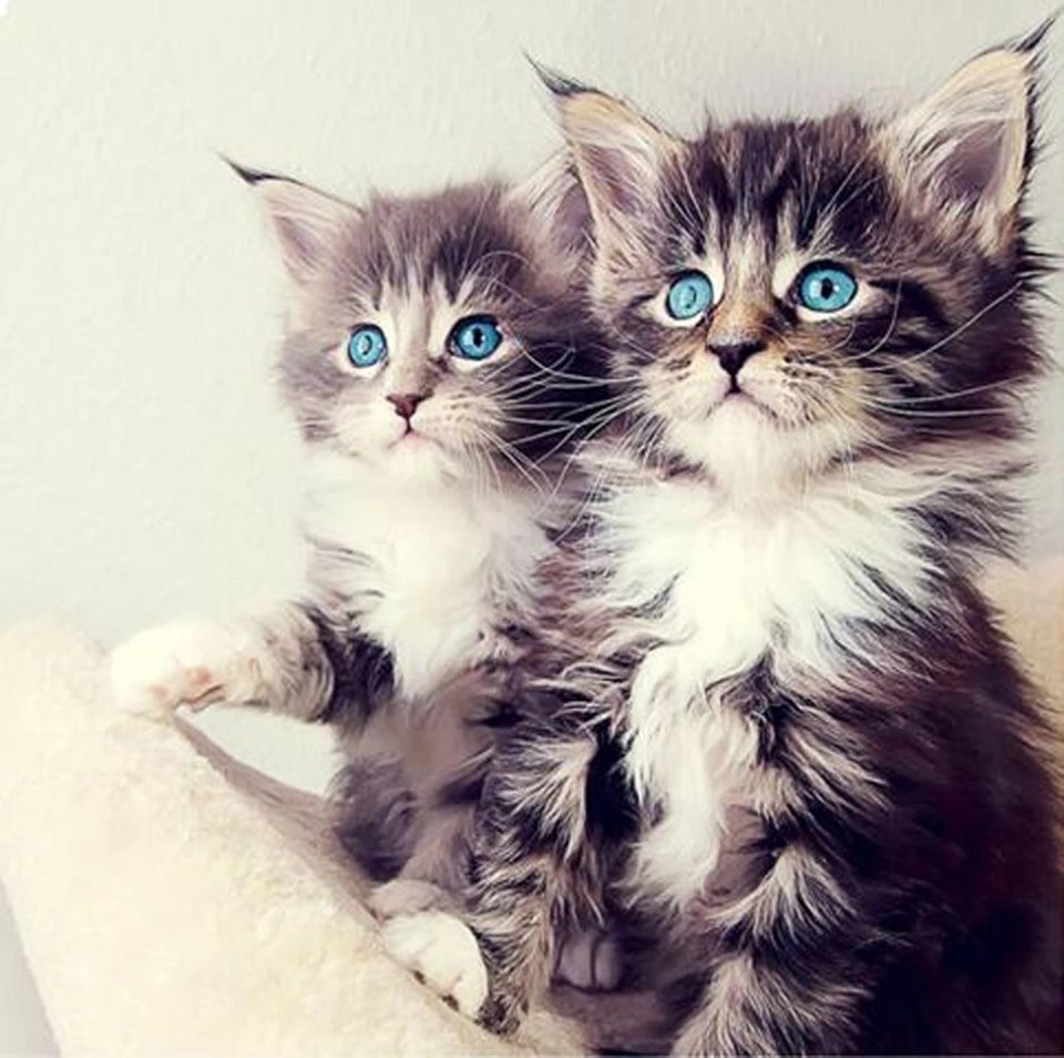 Diamanttavla Blue Eyed Kittens 40x40