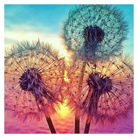 Diamanttavla Colorful Dandelion 30x30