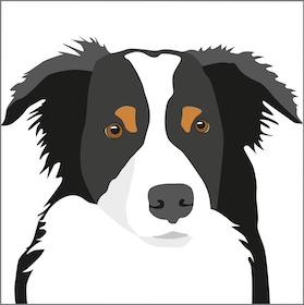 Kort Border Collie 10 st