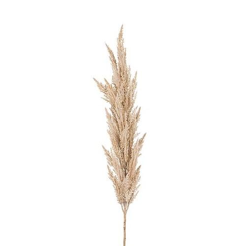 Pampasgräs 150 cm. 6 st