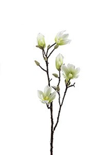Magnolia. 6 stycken.