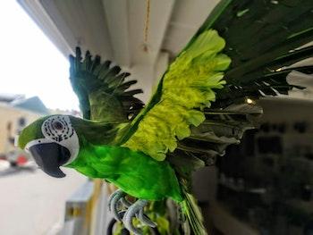 Papegoja XL grön