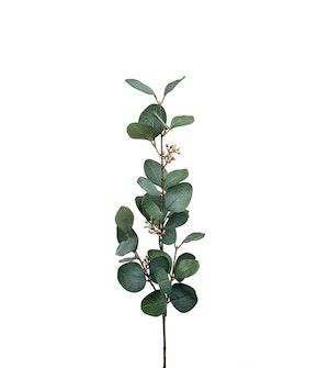 Eucalyptus med bär