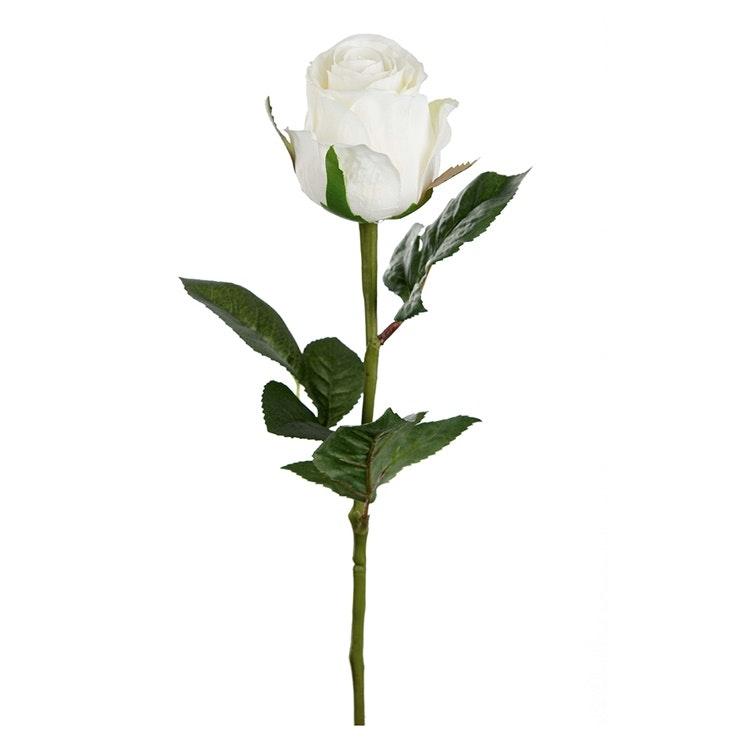 En vacker vit ros