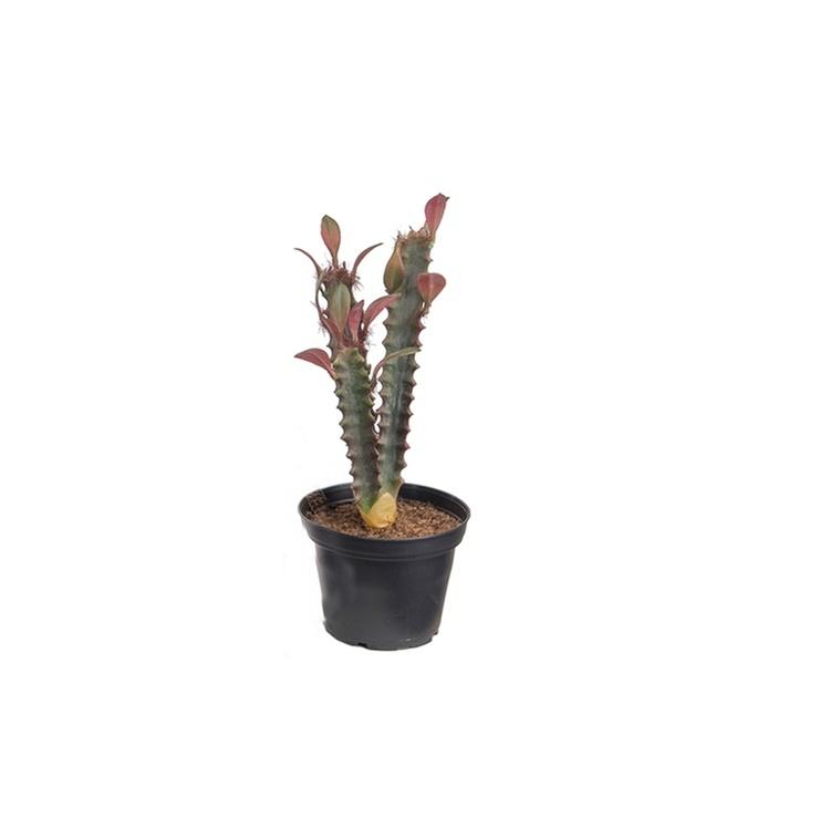Konstgjord Kaktus 20cm, röd