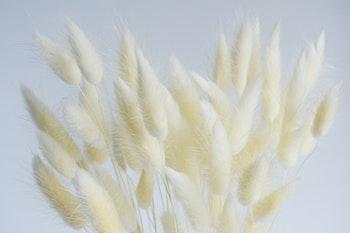 Lagurus - Harsvans, vit
