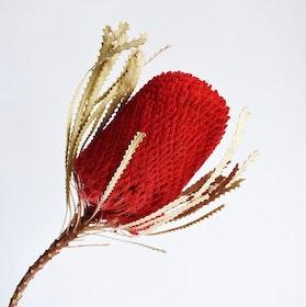 Banksia Hookerana, röd