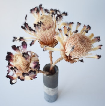 Protea Nerifolia (3 st), stora