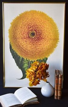 Poster - Kalifornisk solros, 50x70 cm