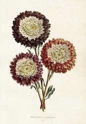 Poster - Chrysanthemum, 35x50 cm