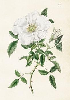 Poster - Vit ros, 35x50 cm