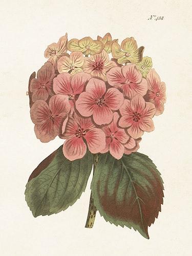 Poster - Hortensia, 18x24 cm