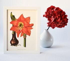 Poster - Amaryllis, 18x24 cm