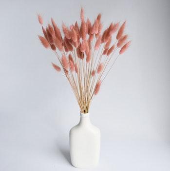 Lagurus - Harsvans, dusty pink