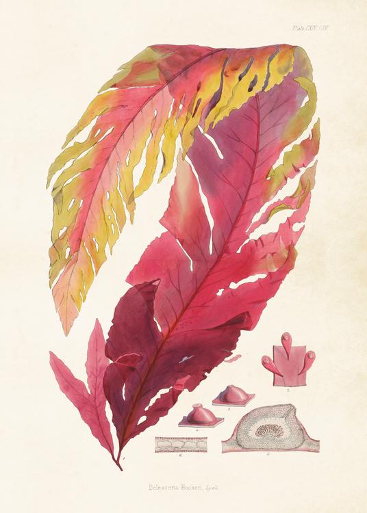 Poster - Rödalg, 50x70 cm