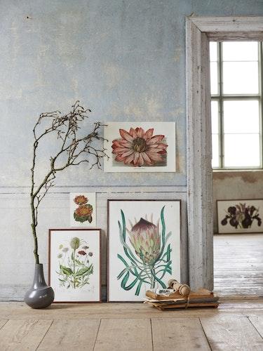 Poster - Protea, 50x70 cm