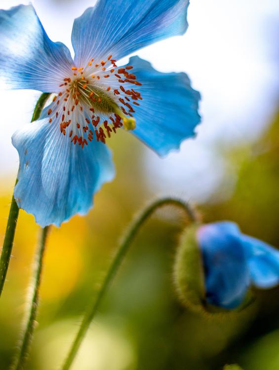 Blå bergvallmo - Fotoprint 30x40 cm