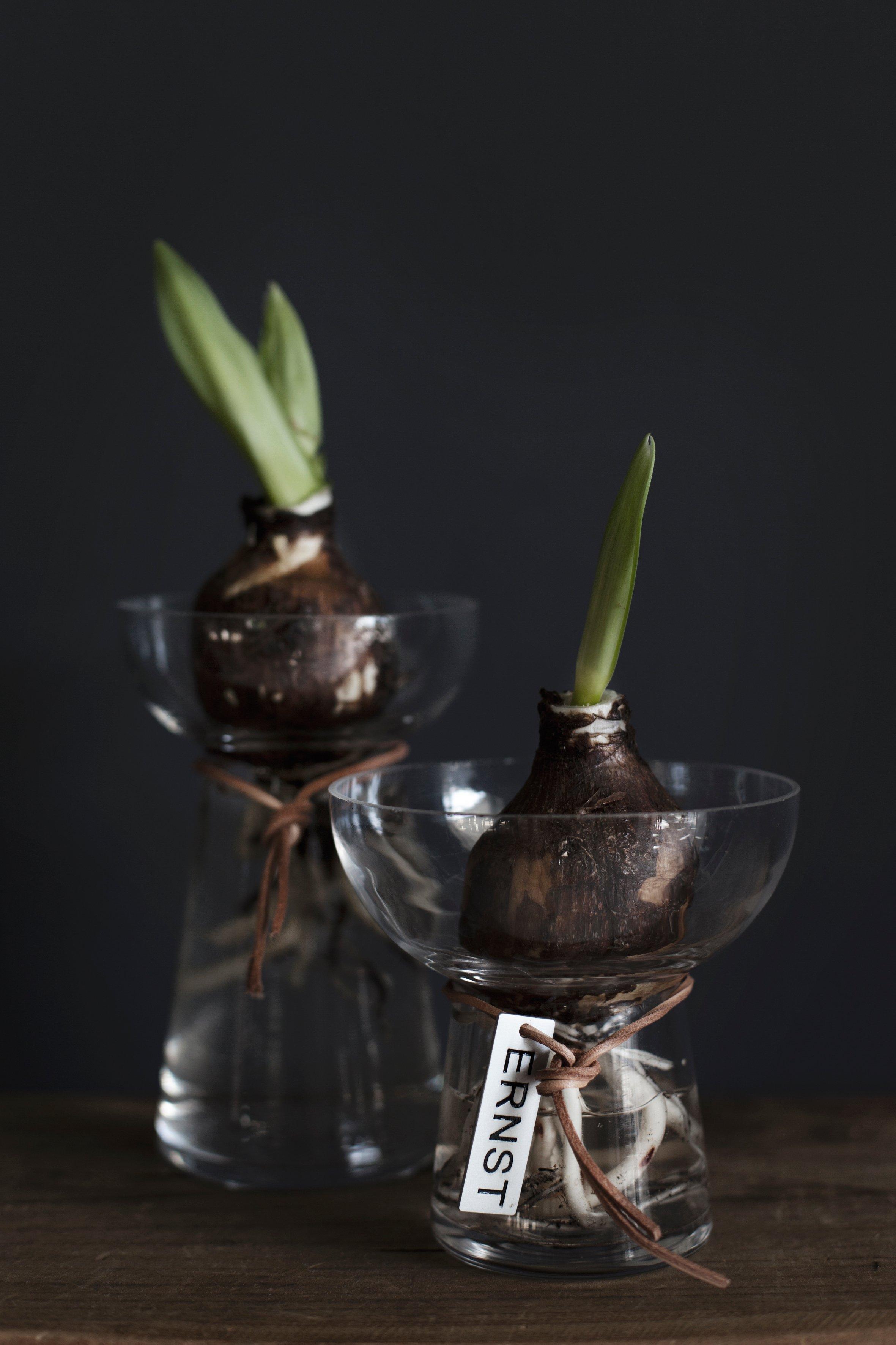 Vas till hyacint/amaryllis ERNST