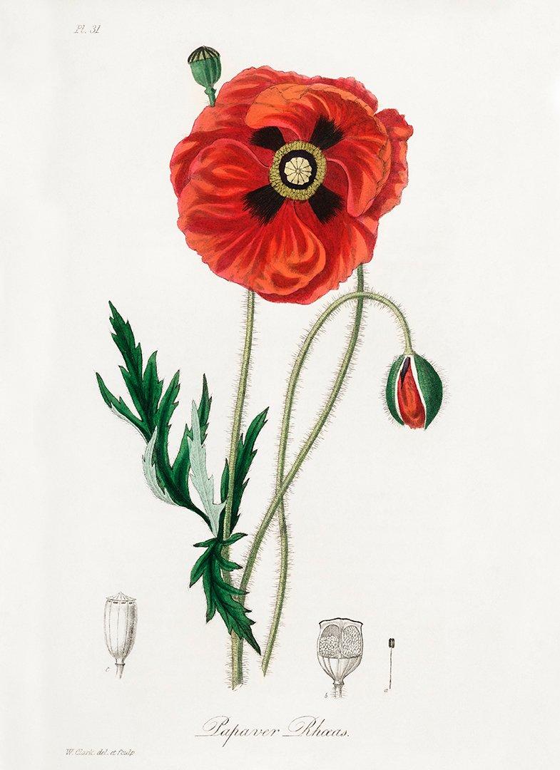 KORN VALLMO 1836
