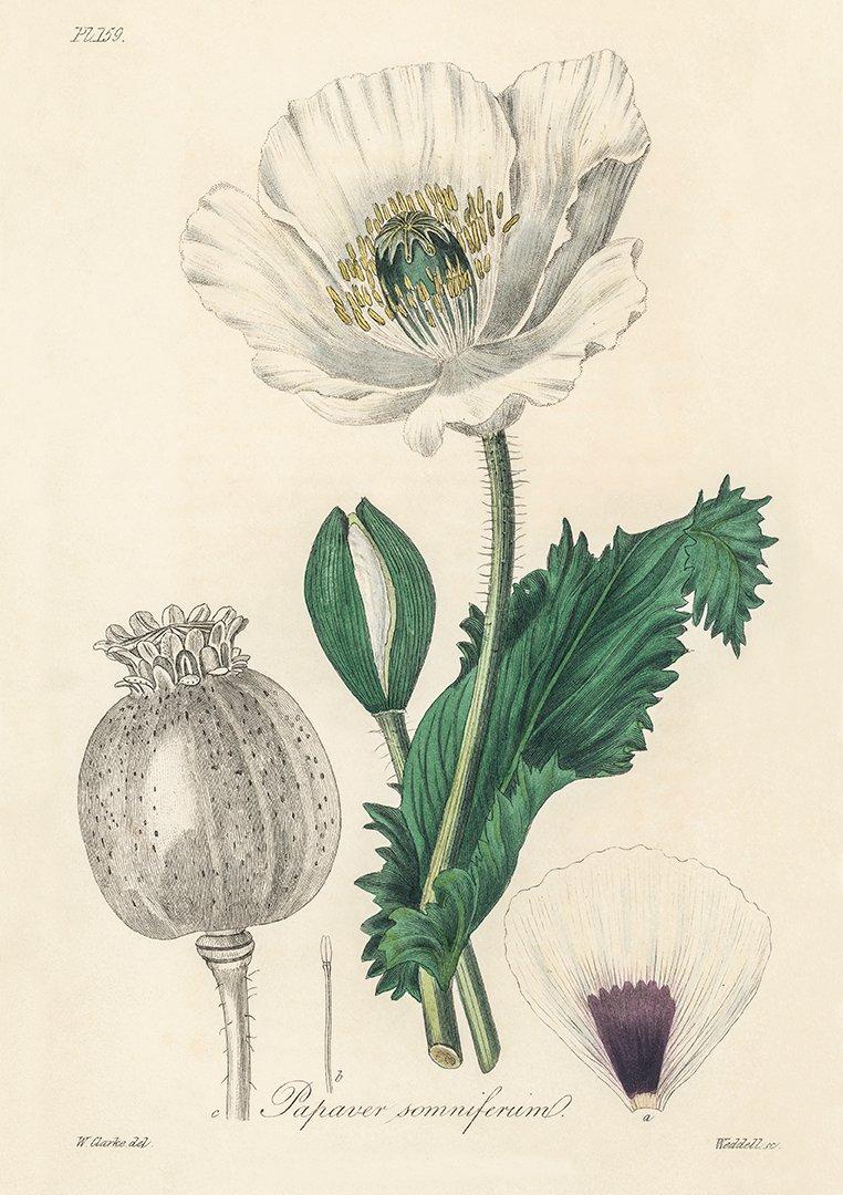 OPIUM VALLMO 1836