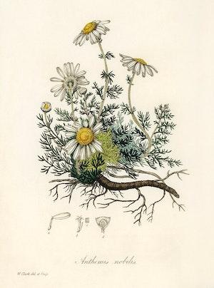 ROMERSK KAMOMILL 1836