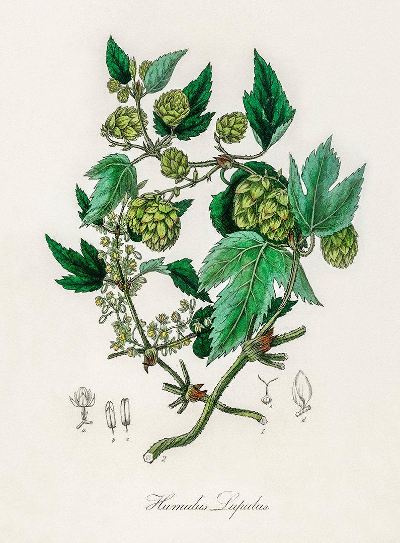 HUMLE 1836