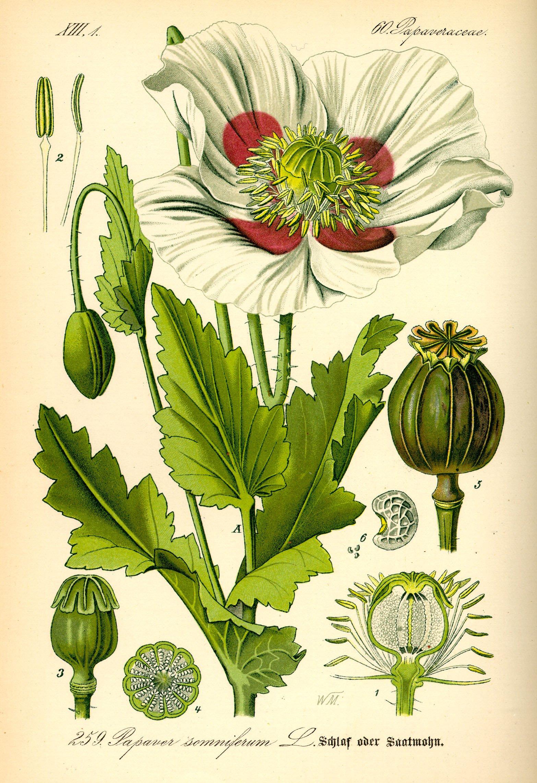 OPIUM VALLMO 1885