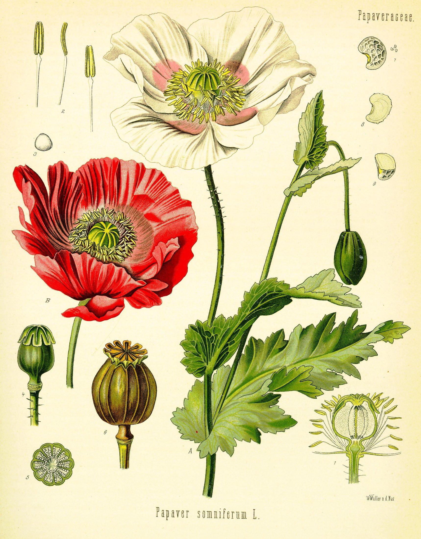 OPIUM VALLMO 1890