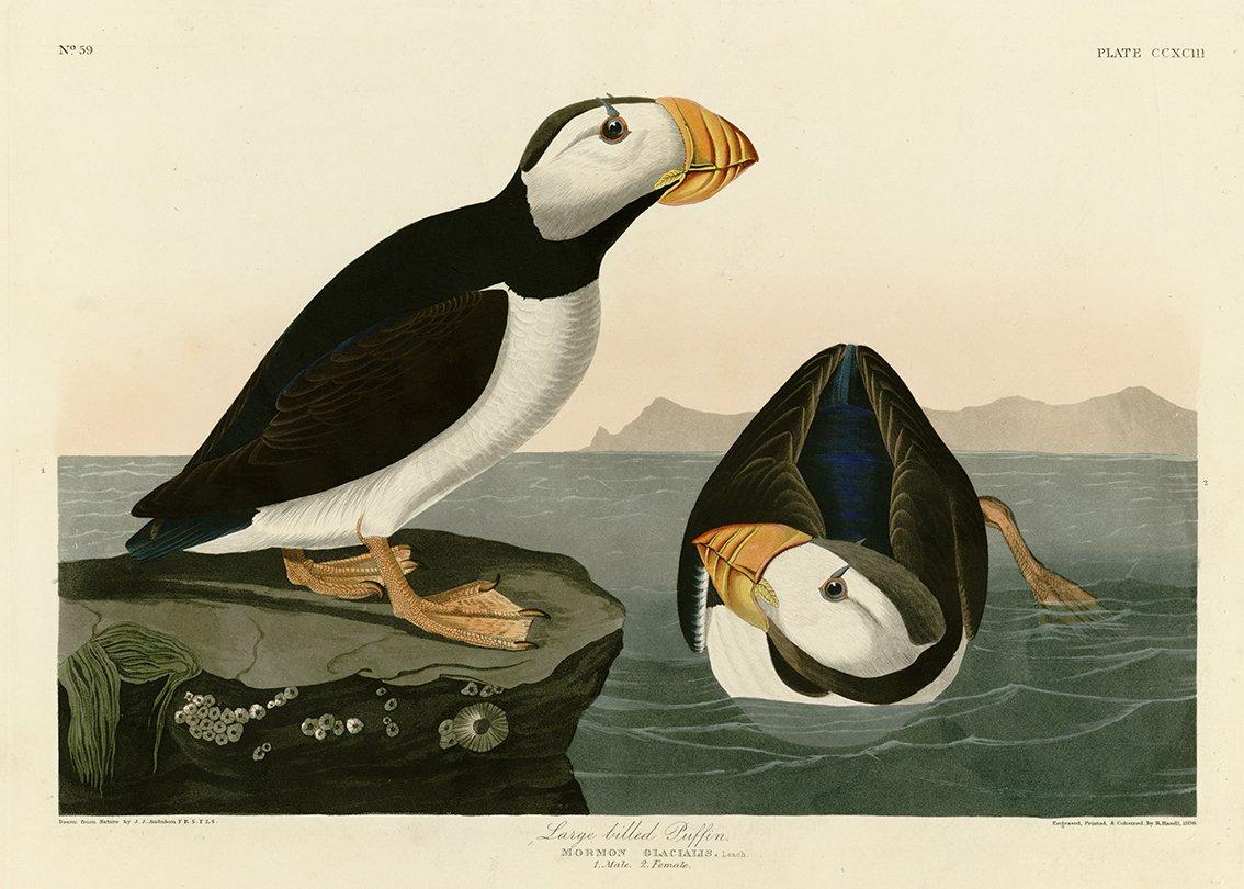 LUNNEFÅGLAR av John Audobon Lunnefågel