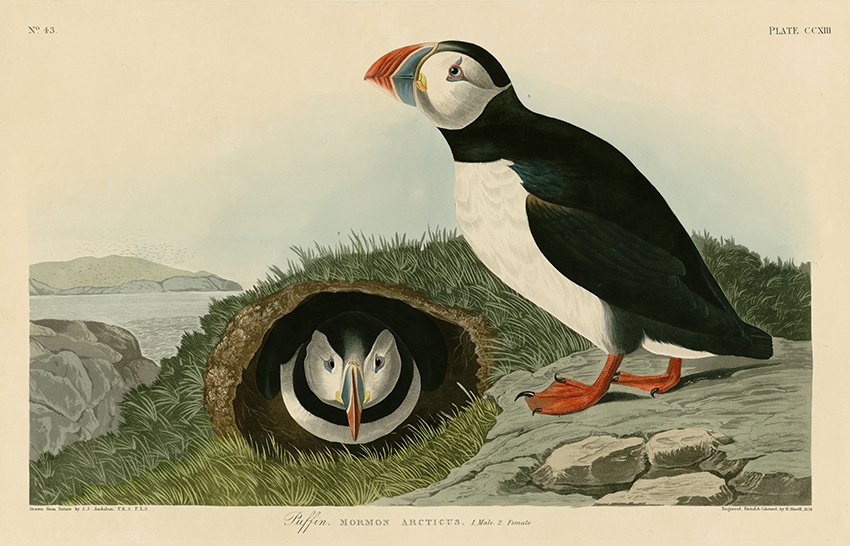 LUNNEFÅGEL av John Audobon Lunnefåglar